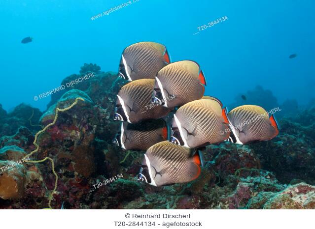 Shoal of Redtail Butterflyfish, Chaetodon collare, South Male Atoll, Maldives