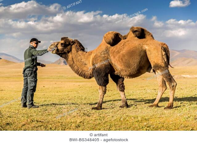 Bactrian Camel Two Humped Camelus Bactrianus Man Feeding A