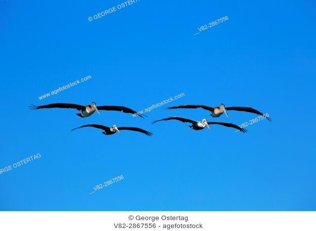 Brown pelican (Pelecanus occidentalis) in flight, South Beach State Park, Oregon