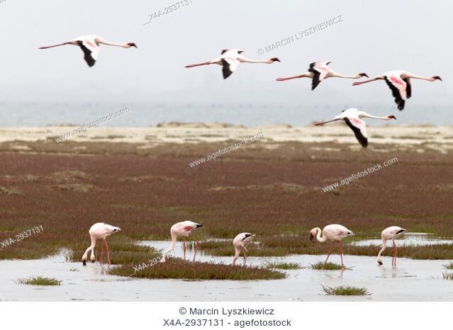 Feeding and flying greater flamingos (Phoenicopterus roseus), Walvis Bay, Namibia