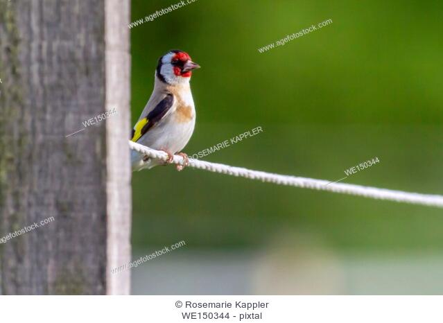 germany, saarland, dillingen - A resting goldfinch is searching for fodder