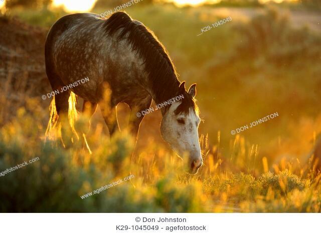 Feral Horse Wild Horse Equus caballus