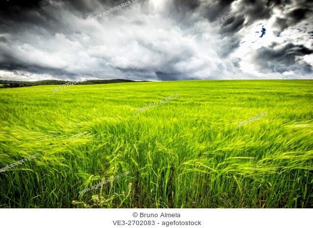 Cereal fields near Teroleja (Guadalajara Province, Castilla- La Mancha Region, Spain)