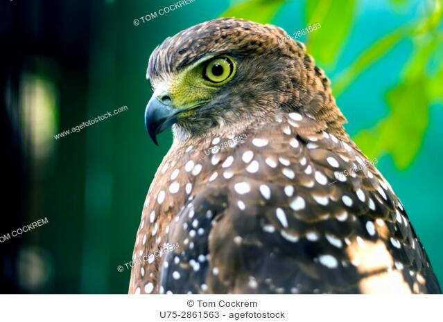 Crested Serpent Eagle at Albay Park and Wildlife, Legazpi City, Philippines