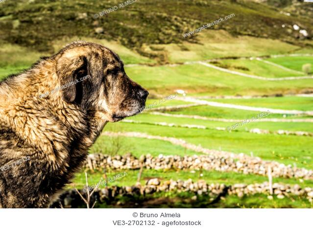Spanish Mastiff in Somiedo moutain pass (region of Asturias, Spain)