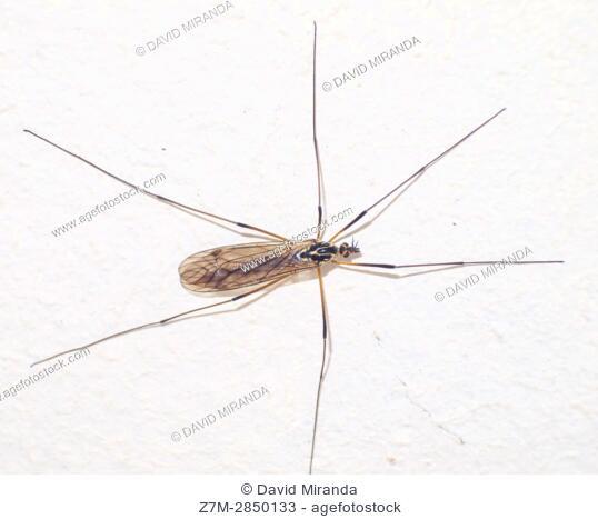 Insecto de largas patas. Artrópodo. Macrofotografía
