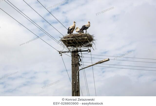 White storks in small village in Poland