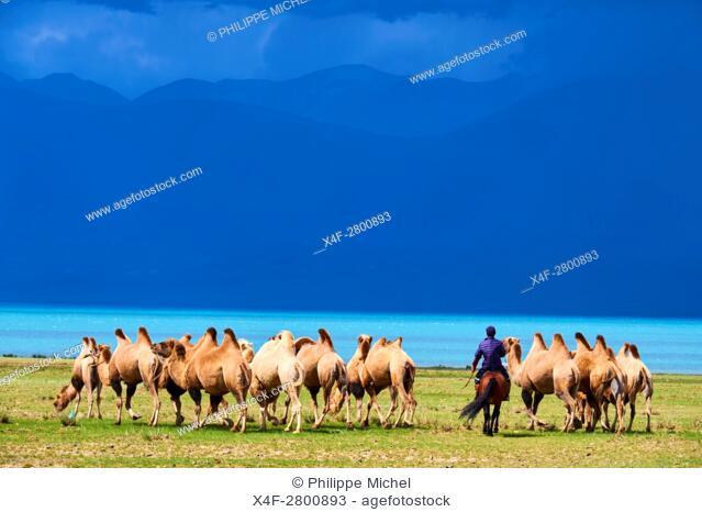 Mongolia, Uvs province, western Mongolia, camel herd at the lake Uureg Nuur