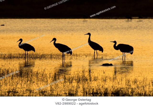 Sandhill crane dusk at pond, Bosque del Apache National Wildlife Refuge, New Mexico