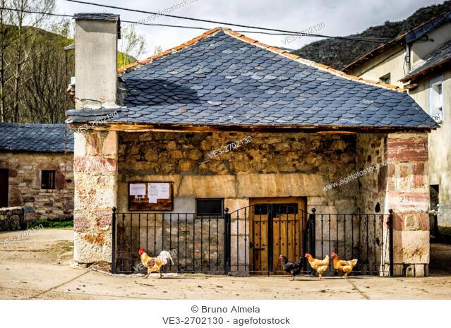 Rooster followed by three hens in Torre de Babia (province of león, region of Castilla y León, Spain)