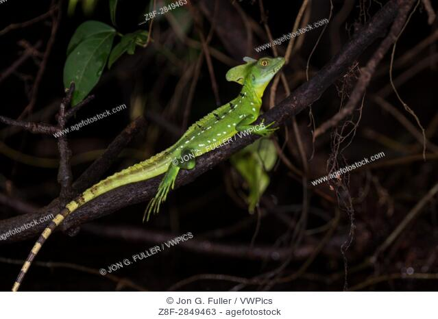 Plumed Basilisk, Green Basilisk, Double Crested Basilisk, Basiliscus plumifrons, is named after an ancient mythical basilisk that could kill a man with its look...