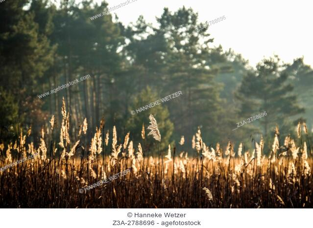 High phragmites bathing in sunlight in front of the woods