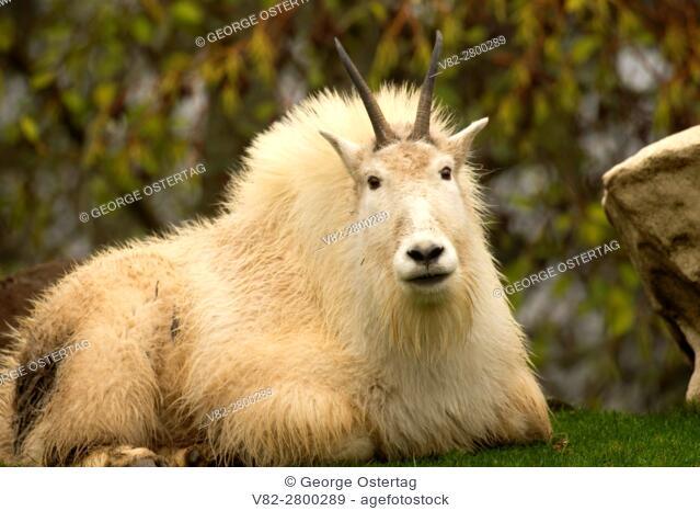 Mountain goat (Oreamnos americanus), Oregon Zoo, Washington Park, Portland, Oregon