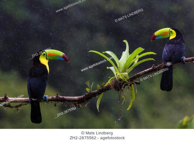 Two Keel-billed toucan, Ramphastos sulfuratus in rainfall sitting in a tree, at Laguna del Lagarto, Boca Tapada, San Carlos, Costa Rica