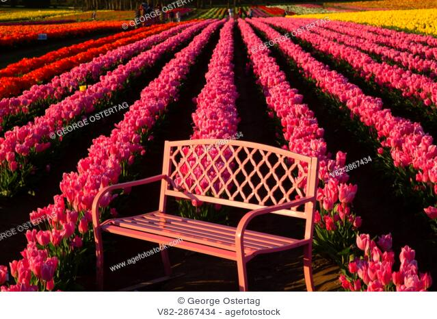 Tulip field with bench, Wooden Shoe Bulb Co. , Clackamas County, Oregon