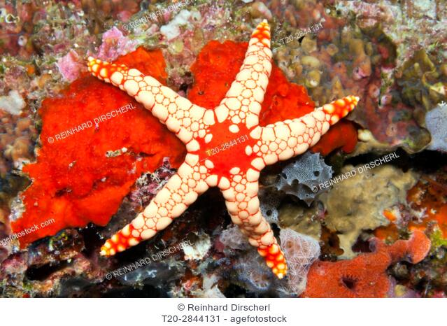 Red Mesh Starfish, Fromia monilis, Felidhu Atoll, Maldives