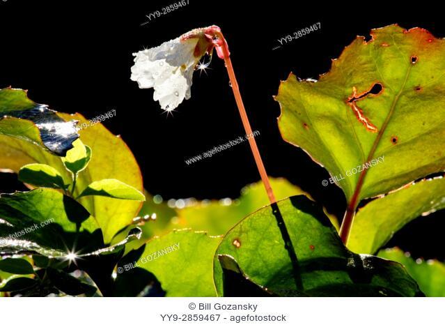 Oconee Bells (Shortia galacifolia) - Holmes Educational State Forest, Hendersonville, North Carolina, USA